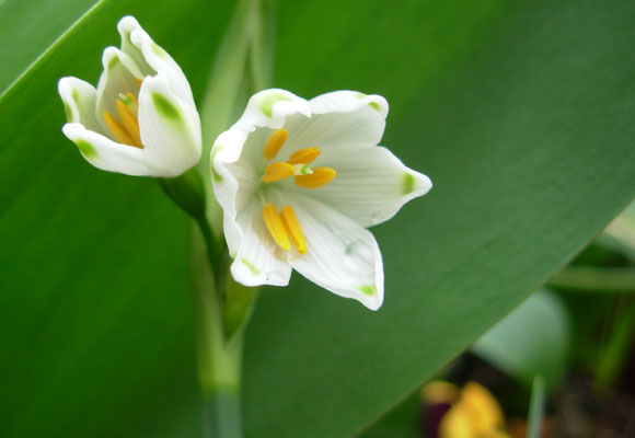 Leucojum Gravetye (Giant Snowflake)