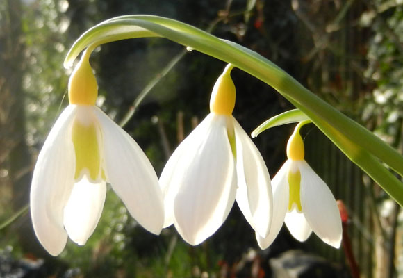 Spring Snowdrops