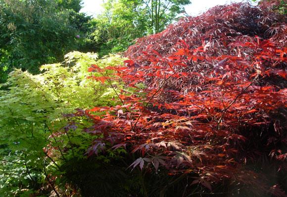 Acer palmatum 'Bloodgood' – Acer palmatum 'Orange Dream' – Acer palmatum dissectum 'Garnet'