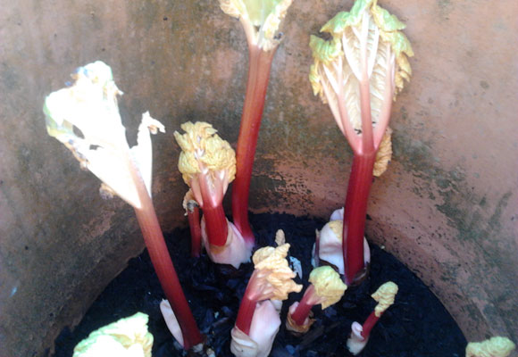 Forcing Rhubarb