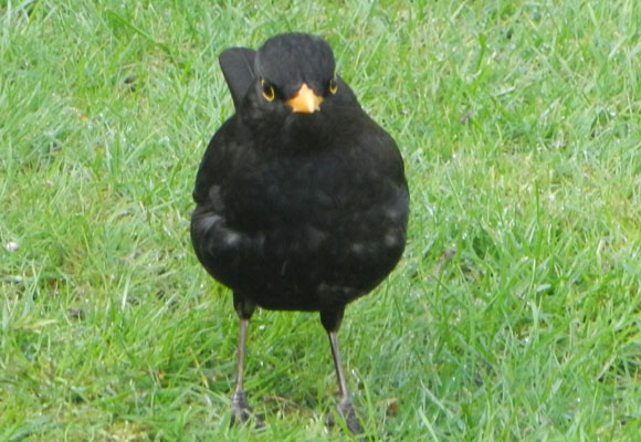 Blackbird