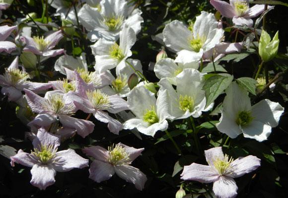 Clematis Montana 'Elizabeth' and 'Grandiflora'