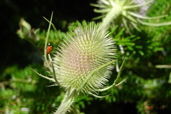Teasel and Ladybird
