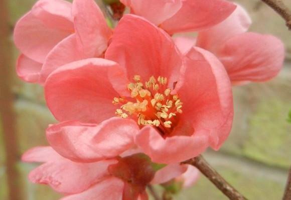 Chaenomeles 'Pink Lady'